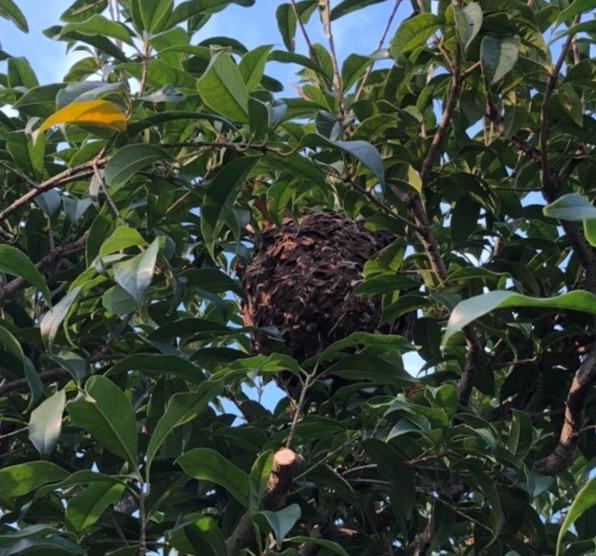 剪定中に、巨大なスズメバチの巣に遭遇❗️